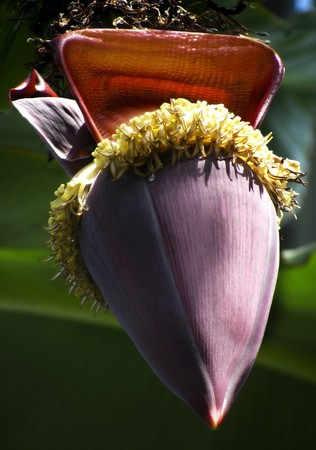 Huge purple and exotic looking - a flower on a banana plant Stock Photo - 7452183
