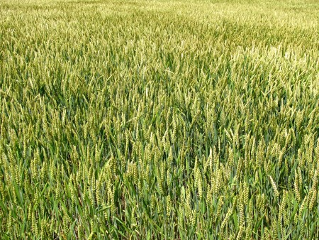 A field of winter wheat swaying in the breeze. Stock Photo - 7452180