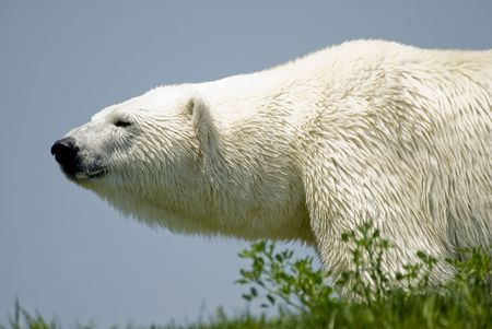 A majestic polar bear, prowling around at the zoo. Stock Photo - 8140606