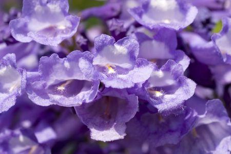 Pretty purple flowers on a mesquite tree. Stock Photo - 8240320
