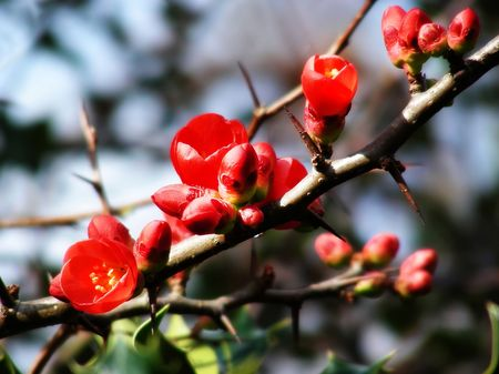 Bright red flowers on the branch of a plum tree.           Stock Photo - 8240313