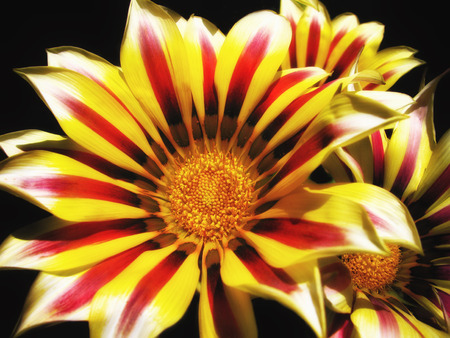 cousin: A bunch of bright, pretty Gazania flowers  Some kind of cousin of a daisy, but with really cool stripes                                 Stock Photo