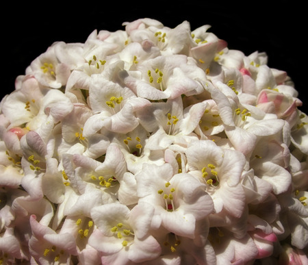 Big globes full of white flowers, that look like snowballs  Reklamní fotografie