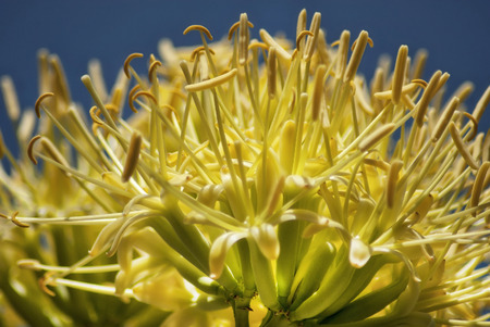 yucca: The bright yellow flower of a desert yucca plant  Stock Photo