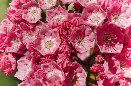 A veritable pink candy bowl of a tree  A flowering mountain laurel                                 Stock Photo