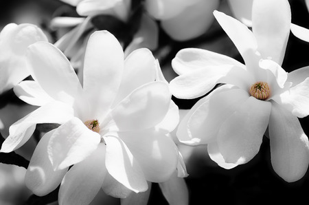 magnolia: A pale sign of spring - a branch full of white magnolia flowers