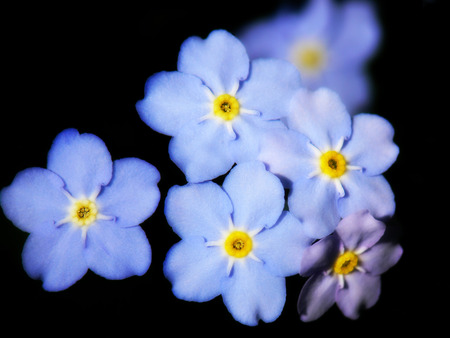 A closeup shot of some pretty blue Forget-me-not flowers