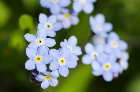 Very pretty small blue flowers - a sprig of forget-me-not