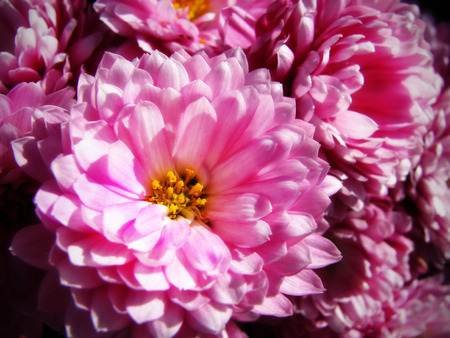 A garden bed full of pretty pink fall asters                                 Stock Photo