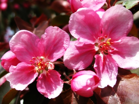 A lovely deep pink branch full of cherry blossoms
