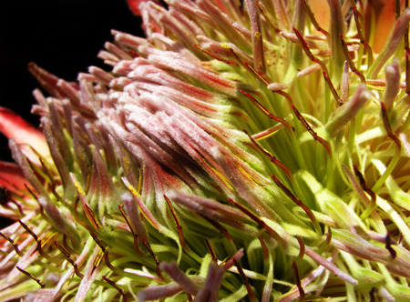 A closeup look at a rather pale protea flower