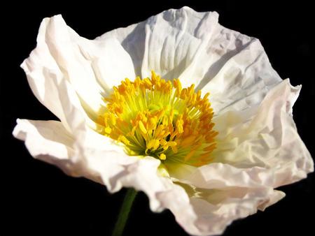 Bright, pretty white California poppy flower, on a black  Stock Photo