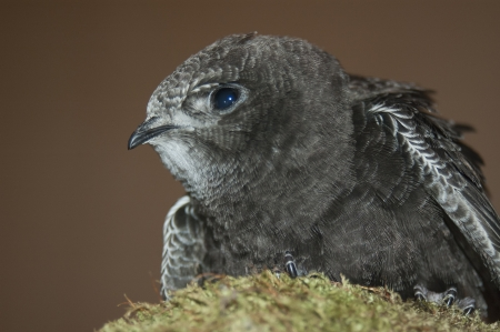young swift (Apus apus) perched on a rock Reklamní fotografie
