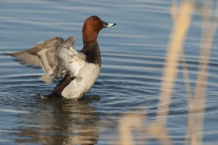aythya ferina: common pochard  Aythya ferina  spreading its wings after grooming