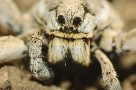 arachnid: closeup of a  tarantula wolf spider  Lycosa tarantula  Stock Photo