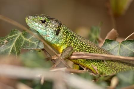 bilineata: Green lizard (Lacerta bilineata) resting in the vegetation Stock Photo