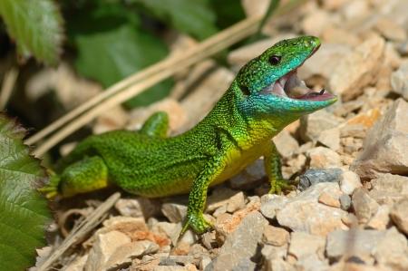 bilineata: Green lizard  Lacerta bilineata  in a threatening