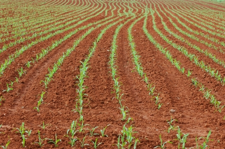 planted: corn planted in the ground forming lines Stock Photo