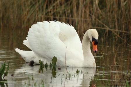 cygnus olor: mute swan  Cygnus olor  on display in your pond