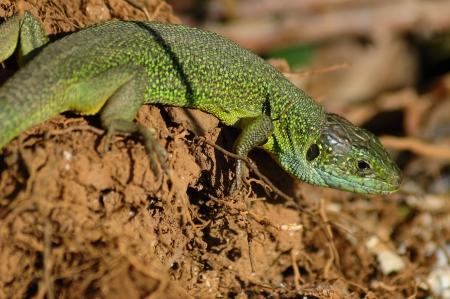 bilineata: Green lizard (Lacerta bilineata) basking in the first rays of sun