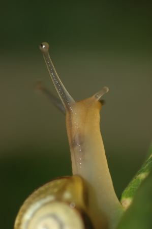 lingering: small snail crawling up a green leaf