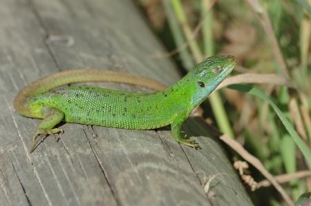 bilineata: Green lizard (Lacerta bilineata) sunning itself on a timber