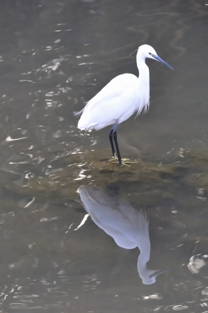 White heron on a rock in their everyday environment Stock Photo