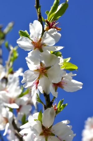 Almond blossoms blooming in a sky background