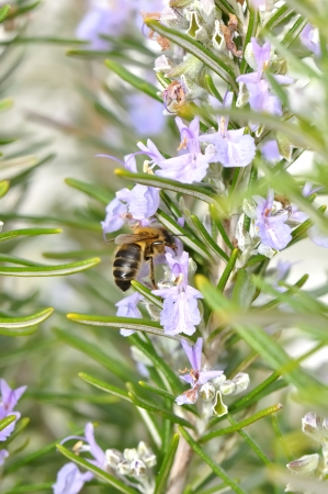 A bee extracting pollen on flowers in spring
