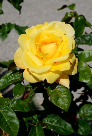 Yellow rose and green leaves in spring Stock Photo