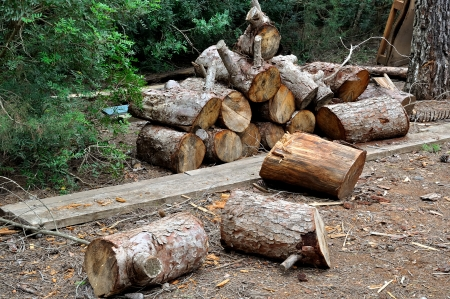 Pine stumps in a forest for firewood