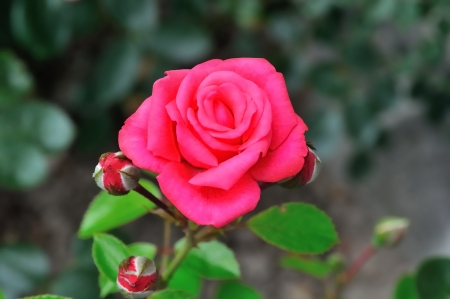 A rose with three buds and green background