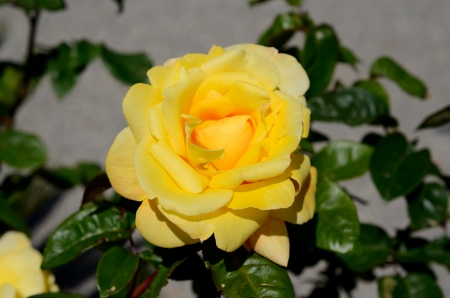 Yellow rose isolated in spring in a garden