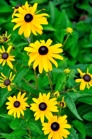 Yellow daisies with heart in black and green leaf background