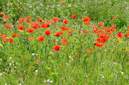 A field of poppies in spring blossoming