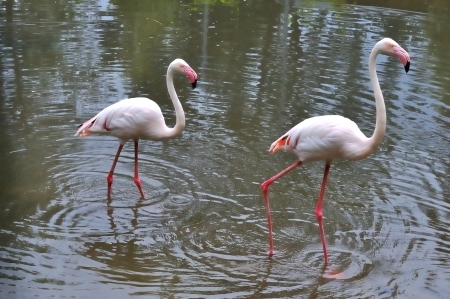 Two flamingos in a lagoon in white and pink