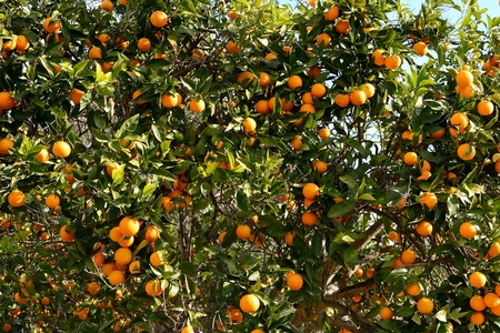 Farm Country, planting of orange trees in full season collection Stock Photo