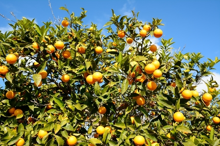 View from the top of a tree with its fruit, oranges