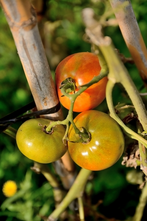 Three tomatoes growing branch in the garden