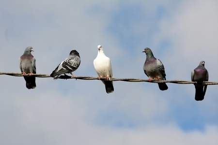 Five pigeons on top of a light cable Stock Photo