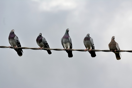 Five pigeons watching the field on a cloudy day