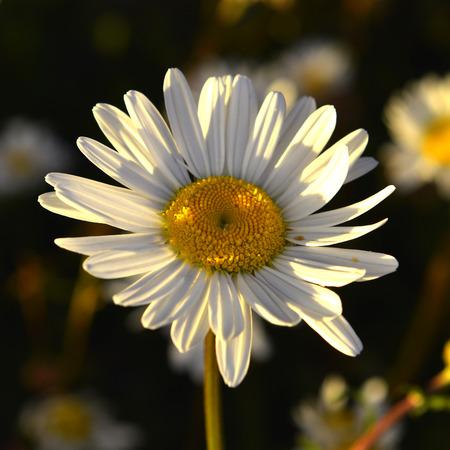 linn: The plant of yushan national park call Chrysanthum leucanthemum Linn