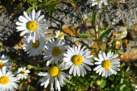 leucanthemum: The plant of yushan national park call Chrysanthum leucanthemum Linn