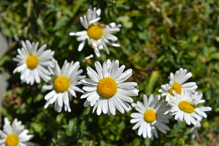 linn: The plant of yushan national park call Chrysanthum leucanthemum Linn