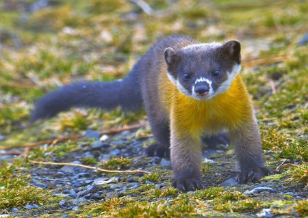 Formosan Yellow-throated Marten