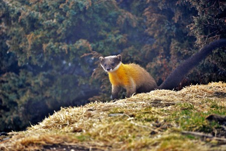 Formosan Yellow-throated Marten