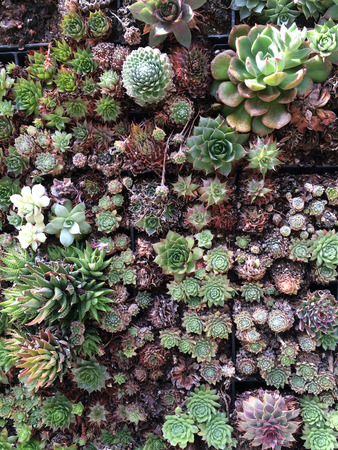Numerous succulent plants in vibrant greens