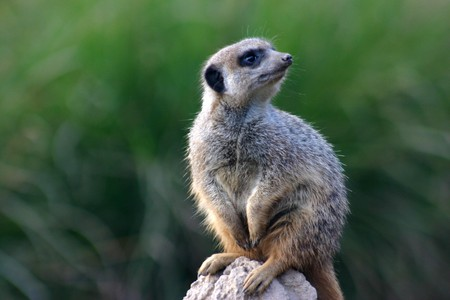 erect: grey Meerkat standing erect on his watch on a rock