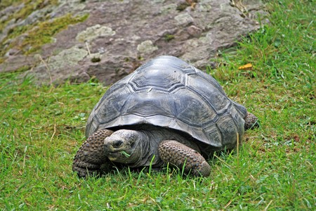 land turtle: giant land turtle grazing