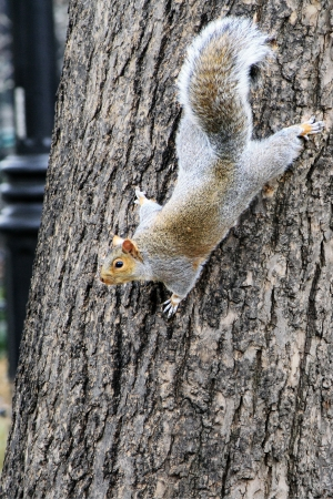 fur tree: grey squirrel on a tree trunk Stock Photo